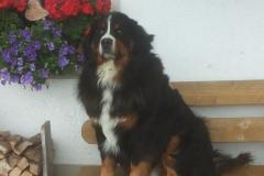 Hund Berry